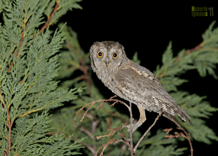 Autillo europeo(Otus scops)