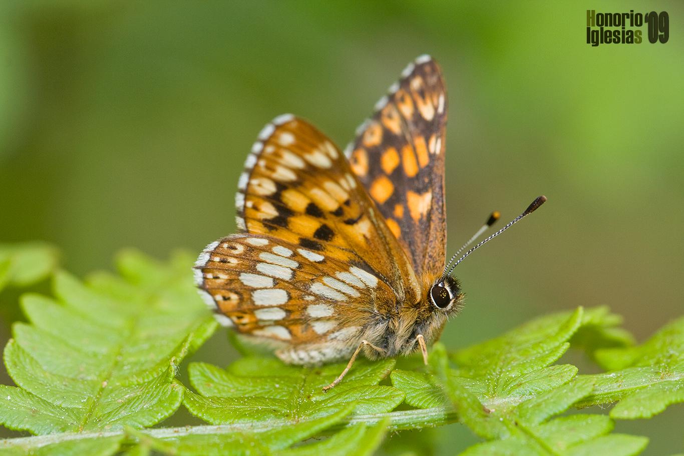 Las mariposas diurnas de Valsaín y de La Sierra de Guadarrama