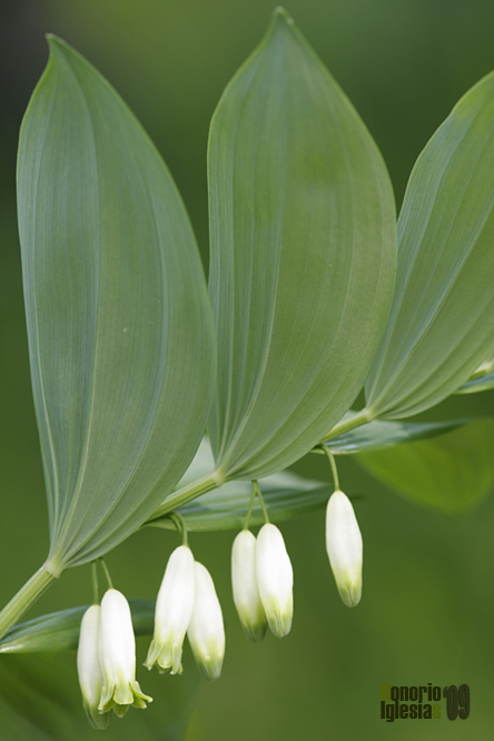 Sello de salomón (Polygonatum odoratum)